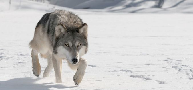 graywolf-main-e1415205081524-1280x600