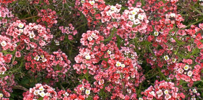 FL3838-Dwarf-Purple-Alyssum-Seeds